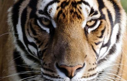 Стоит посмотреть: дроны и тигры